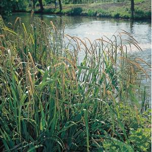 Hangende zegge (Carex pendula) moerasplant