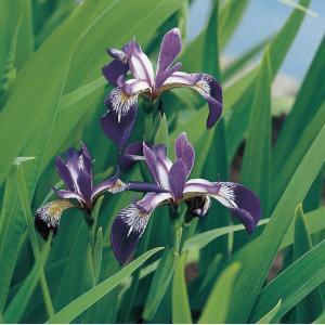 Amerikaanse iris (Iris versicolor) moerasplant