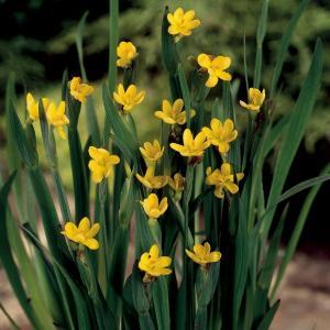 Bieslelie (Sisyrinchium Californicum) moerasplant
