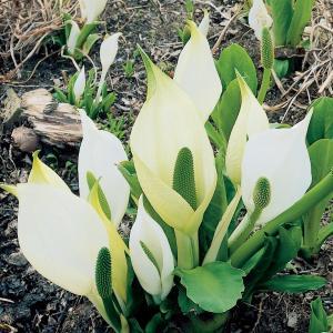Moerasaronskelk (Lysichiton camtschatcensis) moerasplant