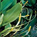 Goudknots (Orontium aquaticum) moerasplant