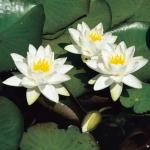 Witte dwergwaterlelie (Nymphaea Tetragona) waterlelie